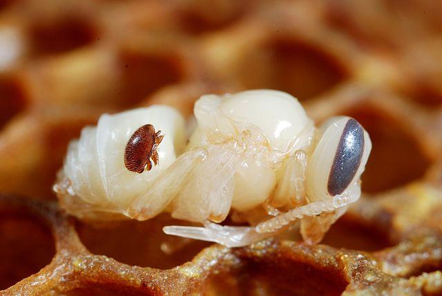 Le varroa destructor est acarien parasite pouvant décimer des colonies entières d'abeilles noires