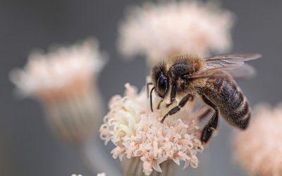 Les îles bretonnes : derniers refuges de l'abeille noire ?