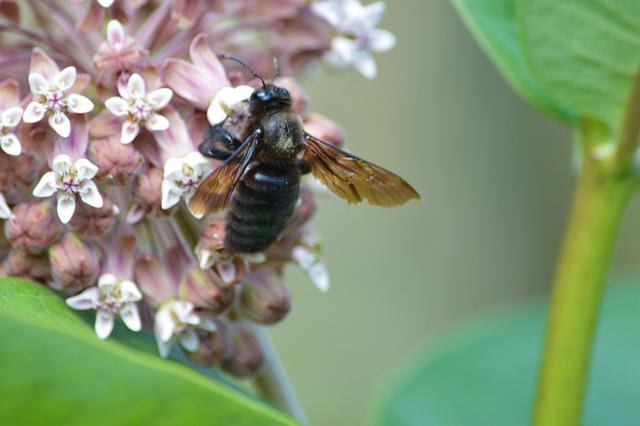 Une abeille noire butinant une fleur