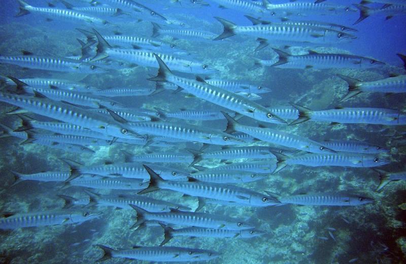 Banc de barracudas visible lors de vos plongées dans le Var